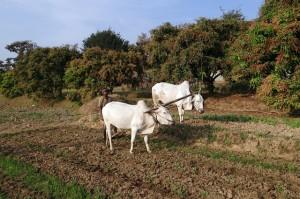 ox-plough-253403_640