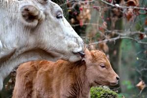 calf-244026_640
